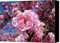 Tree Blossoms Canvas Prints - Tree Blossoming Pink Spring Blue Sky Baslee Troutman Canvas Print by Baslee Troutman Fine Art Photograhy