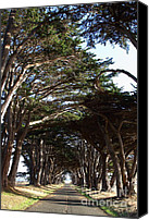 Point Reyes National Seashore Canvas Prints - Tree Canopy Promenade Road Drive . 7D9963 Canvas Print by Wingsdomain Art and Photography
