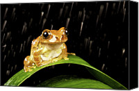 Long Canvas Prints - Tree Frog In Rain Canvas Print by MarkBridger