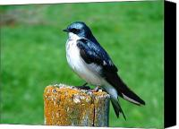 Swallow Canvas Prints - Tree Swallow 3 Canvas Print by Thomas Young