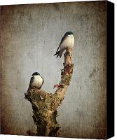 Swallow Canvas Prints - Tree Swallows Canvas Print by Al  Mueller