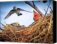 Swallow Canvas Prints - Tree Swallows in nest Canvas Print by Bob Orsillo