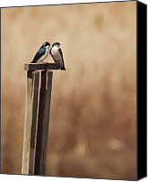 Swallow Canvas Prints - Tree Swallows On Wood Post Canvas Print by Jody Trappe Photography