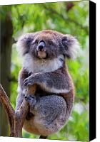Koala Canvas Prints - Treetop Koala Canvas Print by Mike  Dawson