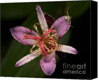 Flowers   Spider Canvas Prints - Tricyrtis Amethystina - Hide and Seek Canvas Print by Warren Sarle