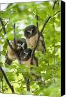 Northern Photo Canvas Prints - Triple Cute Saw-whet Owls Canvas Print by Tim Grams