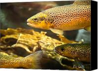 Underwater Canvas Prints - Trout swiming in a River Canvas Print by Bob Orsillo