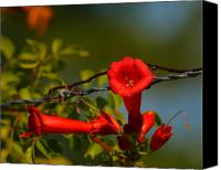 Green Pyrography Canvas Prints - Trumpet Vine and Barb Wire  Canvas Print by William Gilroy