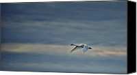 Cygnus Olor Canvas Prints - Trumpeter Swan in Flight Canvas Print by Mark Wagoner