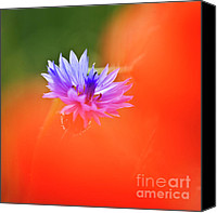 Wild-flower Canvas Prints - Tucked away 2 Canvas Print by Heiko Koehrer-Wagner