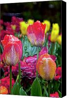 Art Appraisal Canvas Prints - Tulip Candy Canvas Print by Don  Wright