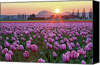 Tulip Canvas Prints - Tulip Field At Sunset Canvas Print by Davidnguyenphotos