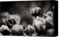 Cornwall Canvas Prints - Tulip on Top Canvas Print by Justin Albrecht