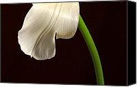 Steve Augustin Canvas Prints - Tulip Pedal Canvas Print by Steve Augustin