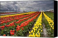 Vernon Canvas Prints - Tulip Storm Canvas Print by Mike  Dawson