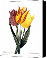 1833 Canvas Prints - Tulip (tulipa Gesneriana) Canvas Print by Granger