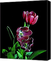 Flower Works Canvas Prints - Tulips. Canvas Print by Chris  Kusik