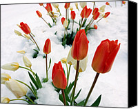 Bathrooms Canvas Prints - Tulips In The Snow Canvas Print by Steven Milner