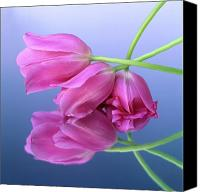 Ups Canvas Prints - Tulips .Tulipa. Canvas Print by Bernard Jaubert
