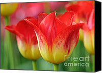 Blossom Special Promotions - Tulips Up Close Canvas Print by Vivian Christopher