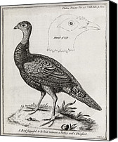 Cross Breed Canvas Prints - Turkey-pheasant Cross, 18th Century Canvas Print by Middle Temple Library