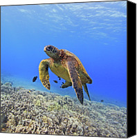 Sea Aquatic Canvas Prints - Turtle Canvas Print by Chris Stankis