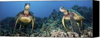 Dave Canvas Prints - Turtle Panorama Canvas Print by Dave Fleetham - Printscapes