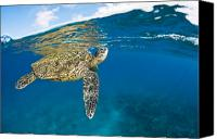 Breathe Canvas Prints - Turtle Taking a Breath Canvas Print by Dave Fleetham - Printscapes