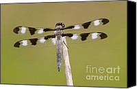 Close Up Canvas Prints - Twelve-spotted Skimmer Dragonfly I Canvas Print by Clarence Holmes