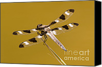 Close Up Canvas Prints - Twelve-spotted Skimmer Dragonfly II Canvas Print by Clarence Holmes