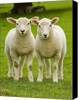 Seasonal Canvas Prints - Twin Lambs Canvas Print by Meirion Matthias