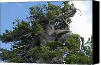 Trees Canvas Prints - Twisted and gnarled Bristlecone Pine tree trunk above Crater Lake - Oregon Canvas Print by Christine Till