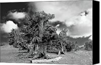 Iconic Canvas Prints - Twisted old Bristlecone Pine above Crater Lake - Oregon Canvas Print by Christine Till