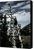 Torso Canvas Prints - Twisted Whitebark Pine Tree - Crater Lake - Oregon Canvas Print by Christine Till