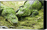 Gator Canvas Prints - Two Alligators Canvas Print by Garry Gay
