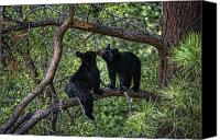Cubs Canvas Prints - Two Bear Cubs Kissing up a Tree Canvas Print by Paul W Sharpe Aka Wizard of Wonders