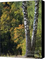 Outdoors Pyrography Canvas Prints - Two Birch Trees in Autumn Forest. Selective Focus Canvas Print by Andrey Ushakov