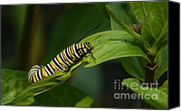 Steve Augustin Canvas Prints - Two Caterpillars Canvas Print by Steve Augustin