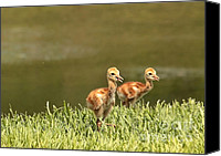 Sandhill Crane Canvas Prints - Two Chicks Canvas Print by Carol Groenen