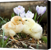 Kissing Canvas Prints - Two Chicks Kissing Canvas Print by Jorja M. Vornheder