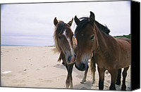 Wild Horses Canvas Prints - Two Curious Wild Horses On The Beach Canvas Print by Nick Caloyianis