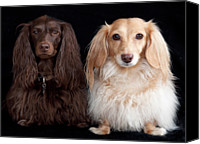 Long Hair Canvas Prints - Two Dachshunds Canvas Print by Doxieone Photography
