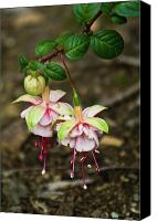 Fushia Canvas Prints - Two Fushia Blossoms Canvas Print by Douglas Barnett
