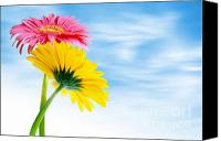 Copy Space Canvas Prints - Two Gerberas Canvas Print by Carlos Caetano