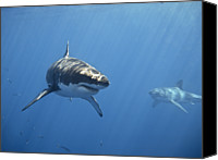 Male Canvas Prints - Two Great White Sharks Canvas Print by Photo by George T Probst