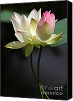 Lotus Bud Canvas Prints - Two Lotus Flowers Canvas Print by Sabrina L Ryan