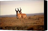 New World Canvas Prints - Two male Pronghorn Antelopes in Alberta Canvas Print by Mark Duffy
