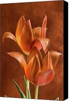 Two Red Tulips Canvas Prints - Two orange red Tulips entwined Canvas Print by Linda Matlow