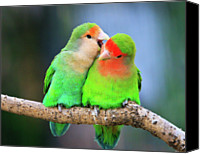Two Animals Canvas Prints - Two Peace-faced Lovebird Canvas Print by Feng Wei Photography