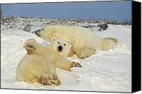 And Threatened Animals Photography Canvas Prints - Two polar bears lounging Canvas Print by Norbert Rosing